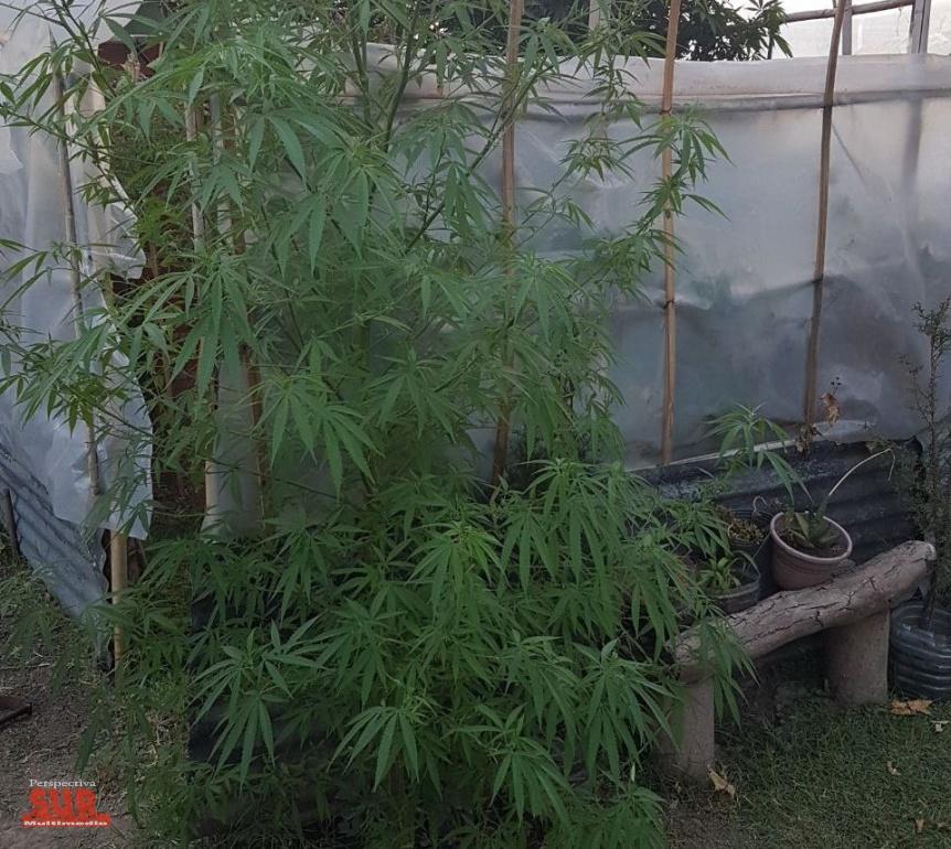 Tres detenidos por cultivar marihuana y 5 demorados por consumo en Berazategui