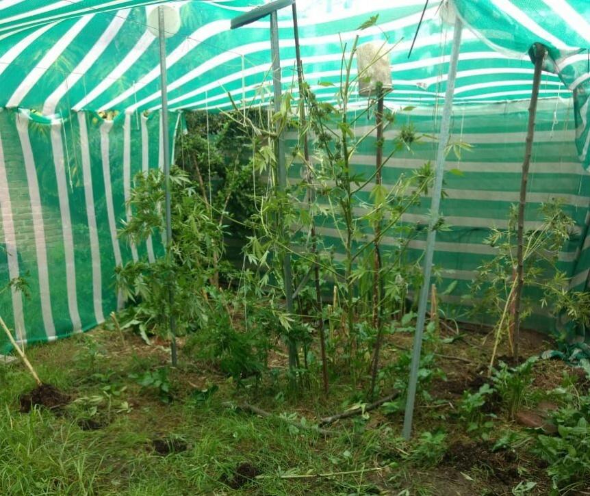 Encontraron una plantación de marihuana en una vivienda de Bernal Oeste