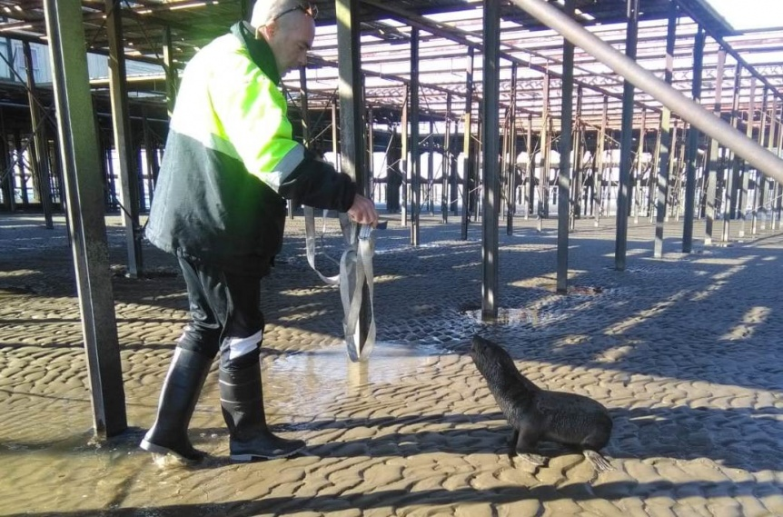 Cachorro de lobo marino extraviado apareci� en la Ribera