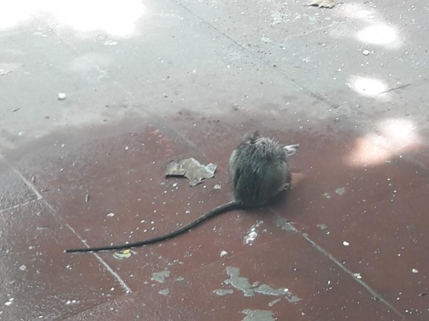 Invasi�n de roedores en ARBA Quilmes centro